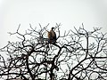 Indian Vulture on a Tree.jpg