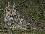 Indian eagle owl Bubo bengalensis hutom pecha small.jpg