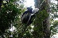 Indri. Indri Indri - Flickr - gailhampshire.jpg
