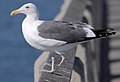 Injured Larus occidentalis.jpg