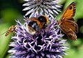 Insects and Flowers -1 (4897458043).jpg
