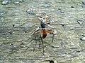 Insekt Rügen Nationalpark-Jasmund May-2009 SL272776.JPG