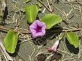 Ipomoea pes-caprae (inflorescense).jpg