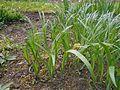 Iris halophila 2017-04-30 9161.jpg