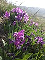 Iris pumila sl14.jpg