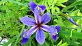 Iris versicolor (5835374590).jpg