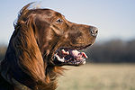 Irish Red Setter.jpg
