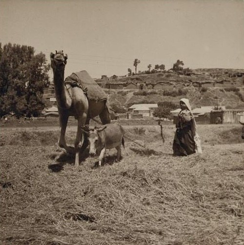 Isdud 11, Ashdod, threshing with camel and ass 1935
