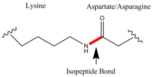 isopeptide from wiki