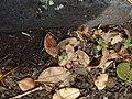 Jacaranda mimosifolia D.Don (AM AK298858-1).jpg