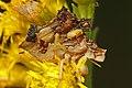 Jagged Ambush Bug - Phymata species, Arthur R Marshall Loxahatchee National Wildlife Refuge, Boynton Beach, Florida.jpg