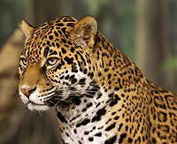 Jaguar head shot-edit2.jpg