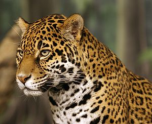 Wildlife of Brazil - A jaguar