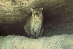 Jaguarundi (Puma yagouaroundi), graue Morphe