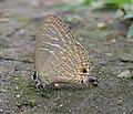 Jamides alecto Felder, 1860 – Metallic Cerulean - Begur Butterfly Survey 04.jpg