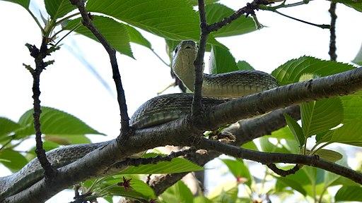 Japanese rat snake on the tree - 1