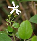 Jasminum auriculatum (Juhi) in Talakona forest, AP W IMG 8323.jpg