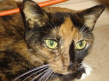 Feline Hepatic Lipidosis Wikipedia