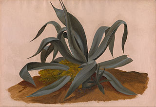 Study of an Agave