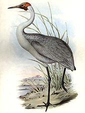 1865 brolga illustration by John Gould