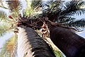 Jubaea Chilensis - Palmares de Ocoa - Chile por Jorge Leon Cabello - 001.jpg