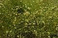 Juncus bufonius plant (12).jpg
