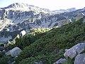 Juniperus communis subsp alpina Pirin.jpg