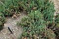 Juniperus sabina 'Blue Forest' - Morris Arboretum - DSC00247.JPG