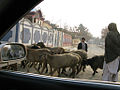Kabul sheep in traffic.jpg