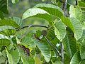 Kadam (Neolamarckia cadamba) (Rubiaceae) (8080116333).jpg