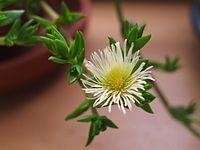 Kanna flower.jpg