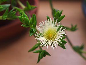 Sceletium tortuosum - Sceletium tortuosum's flower
