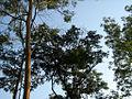 Kaptai tea-garden1.jpg