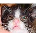 Katzenschnupfen Herpes.jpg