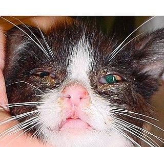 Feline viral rhinotracheitis upper respiratory or pulmonary infection of cats