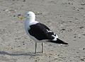 Kelp Gull (3545468958).jpg