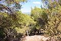 Keren Naftali forest.JPG