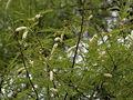 Khair (Acacia catechu) leaves & flowers at Hyderabad, AP W IMG 7262.jpg