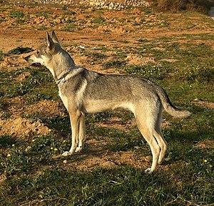Hierran Wolfdog - Image: Kinha