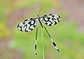 Kite bug - Nemoptera sinuata.jpg
