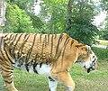 Knuthenborg Safaripark - en tiger på tæt hold.jpg