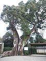 Kokawa-dera Temple - Cinnamomum camphora.jpg