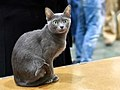 Korat in cat show 1.jpg