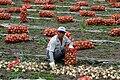 Korea-Andong-Gohari-Harvesting onions-02.jpg