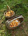 Korgar med kantareller (Cantharellus cibarius) i Sala kn 3884.jpg