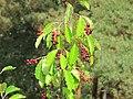 Korina 2011-08-15 Prunus serotina.jpg