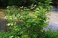 Korina 2013-05-28 Fallopia japonica.jpg