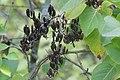 Korina 2016-10-15 Syringa vulgaris 1.jpg