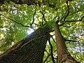 Krošnje hrasta lužnjaka i jasena u Posebnom rezervatu šumske vegetacije Prašnik.jpg