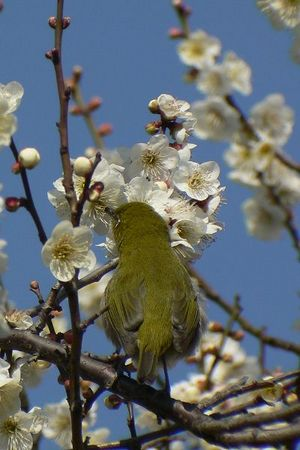 Mejiro (Zosterops japonica) loves nectar of Ume (Prunus mume), expect for spring!